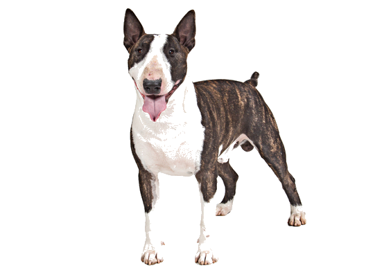 Bull Terrier Breed Facts And