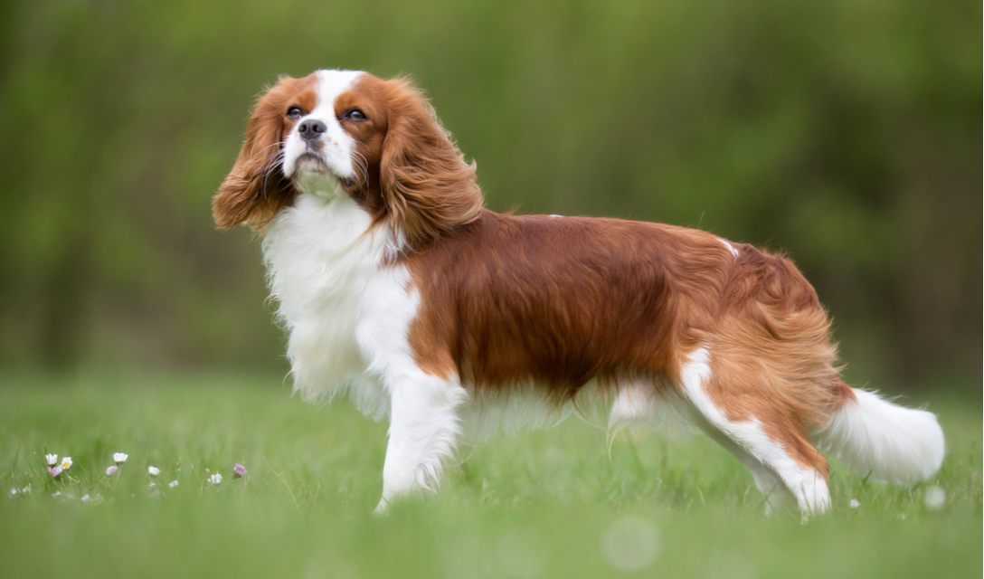 cavalier king charles spaniel breed facts and information petcoach