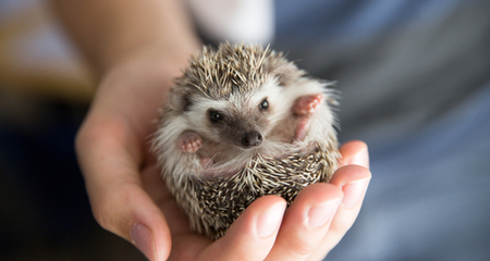 African Hedgehog Husbandry and Nutrition: Housing, Diet, Behavior, Handling  | PetCoach