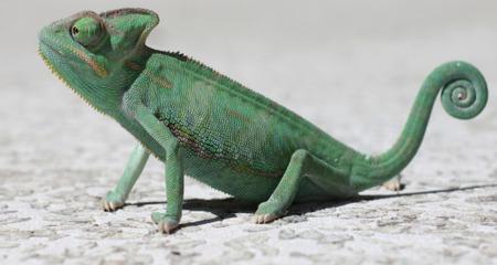 Veiled Chameleons Chamaeleo Calyptratus Species Profile Housing Diet Temperment And Care Petcoach