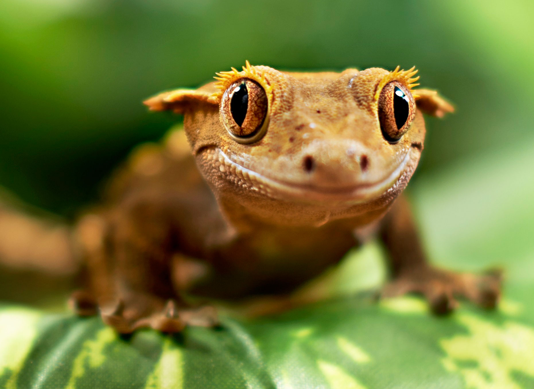 Is The Crested Gecko The Perfect Reptile For You Petcoach