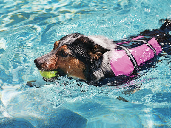 How to teach your dog to swim in a pool 5 easy steps petcoach for How to train your dog to swim in the pool