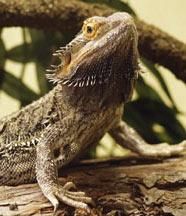 Full Grown Fancy Bearded Dragon
