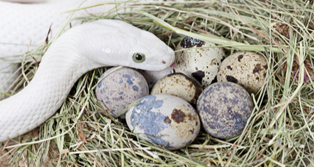 Egg Binding Dystocia In Reptiles Causes Signs Diagnosis Treatment And Prevention Petcoach
