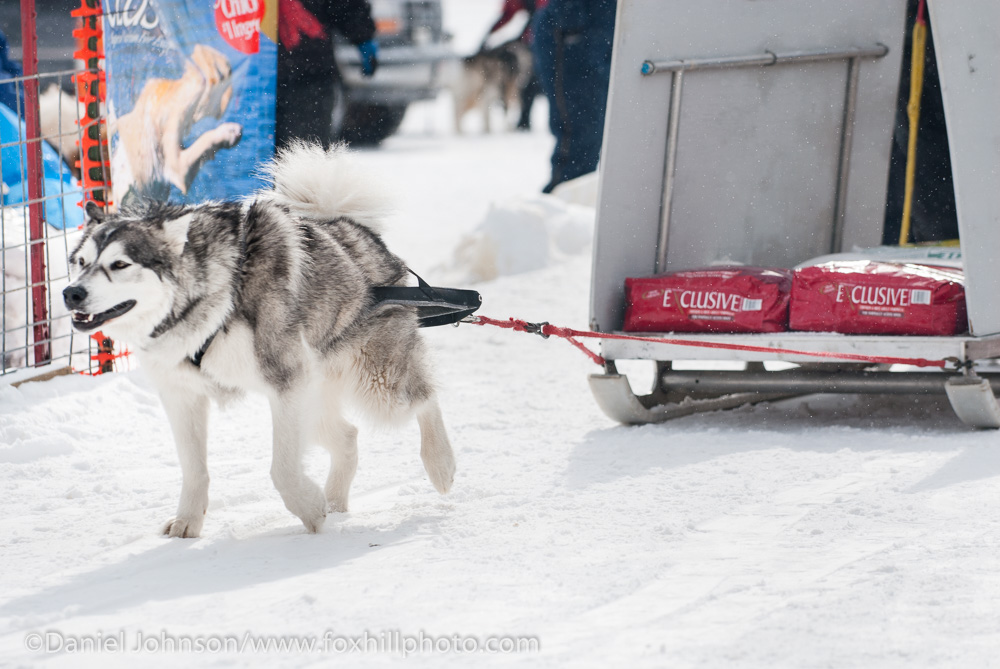 Getting To Know The Alaskan Malamute