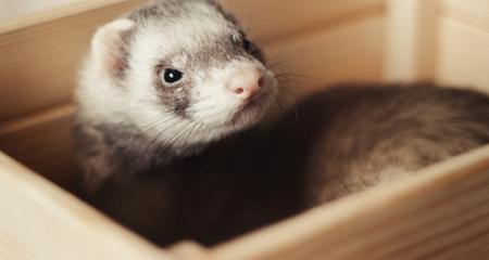 do ferrets eat fish