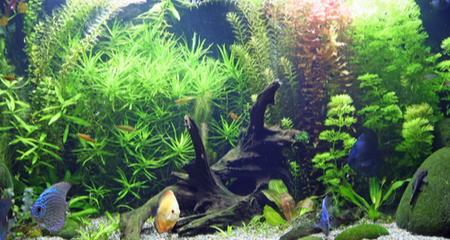 How To Prepare Cure And Place Driftwater In Your Freshwater Aquarium Petcoach