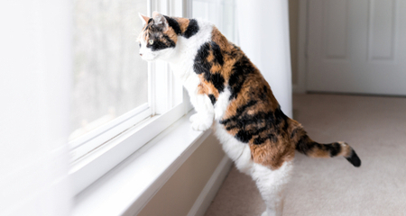 Calico Cats Are Almost Always Female Rarely Male Petcoach