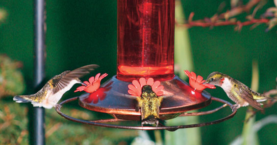 Attracting Hummingbirds To Your Yard 5 Ways To Lure Hummingbirds