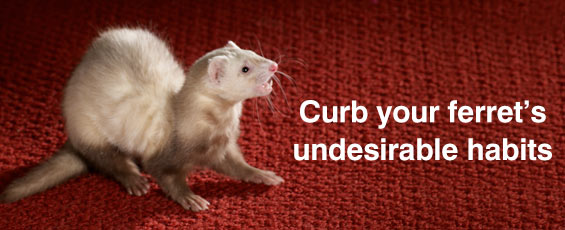 Common Ferret Behavior Problems and Solutions