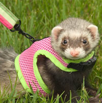Training Your Ferret to Use a Harness and Leash | PetCoach