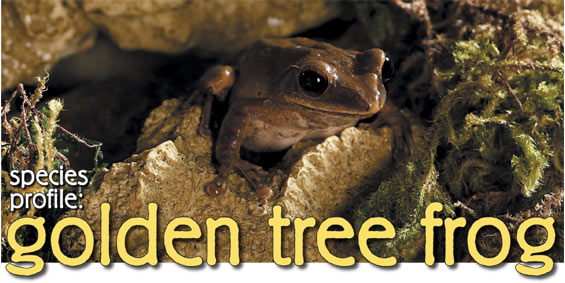 Asian golden tree frog facts images 679