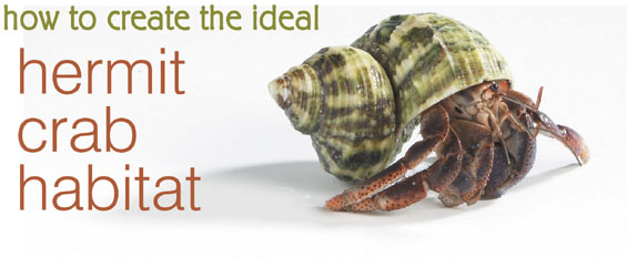 How To Create The Ideal Hermit Crab Habitats Petcoach