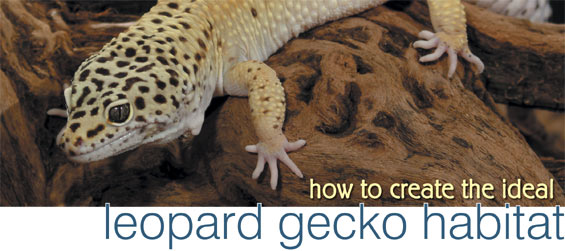 How To Create The Ideal Leopard Gecko Habitat Petcoach