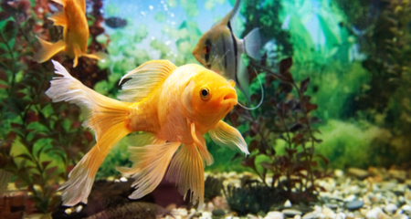 Common Fungal Infections In Aquarium Fish Causes And Treatment Petcoach