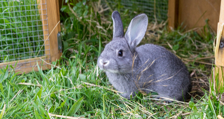 Red Urine In Rabbits Causes Diagnosis And Treatment Petcoach