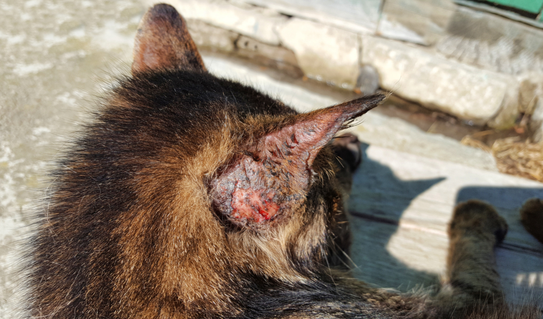 Skin Ulcers And Lesions In Cats Petcoach